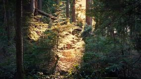 Sun shines through opening in evening woodland stock footage