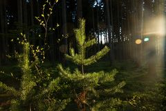 Sun shines on pine Royalty Free Stock Image