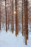 The sun shines through the pine trunks. Stock Images