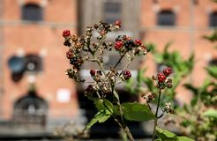 Berries and Sunshine in Wigan. The sun shines on red and black berries Stock Photos