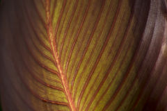 The sun shines the red canna leaf. Red canna leaf closeup in sunshine Stock Photos