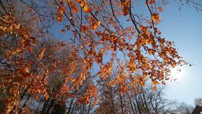 Sun shines through the red leaves. The camera movement and look at the autumn tree from the bottom to the top. The tree stock video footage