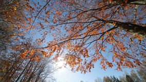 Sun shines through the red leaves. The camera movement and look at the autumn tree from the bottom to the top. The tree stock video