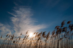 Sun shines through the reed Royalty Free Stock Images