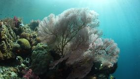 Fragile Sea Fan and Sunshine in Raja Ampat. Sun shines on a sea fan in Raja Ampat, Indonesia. This beautiful and remote region is known for its astounding marine stock video