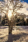 Sun Shines Through A Snow Covered Tree Royalty Free Stock Photo