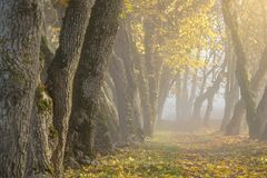 Sun shines through thick fog and trees in early morning. Forest stock photography