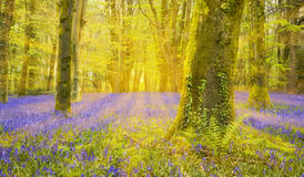 Sun Shines Through Beech Trees Illuminating A Carpet Of Bluebell Royalty Free Stock Photography
