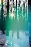 Sun shines through the trees at the end of winter. Sun and group of tall trees, misty unsaturated background stock photo