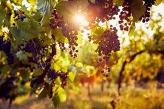 The sun shines through a vineyard stock photo