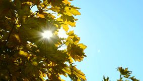 The sun shines through the yellow  leaves. The sun shines through the yellow autumn leaves stock video