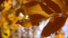 The sun shines through the yellow leaves in autumn close-up stock footage