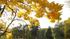 Sun shines through yellow leaves in autumn close-up. Yellow leaf on branch on background stock footage