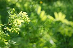 The sun shines through the young green foliage of a tree. acacia. Leaves blurred background Stock Photos