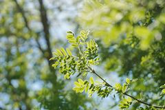 The sun shines through the young green foliage of a tree. acacia. Leaves blurred background Stock Photography