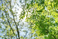 The sun shines through the young green foliage of a tree. acacia. Leaves blurred background Royalty Free Stock Images