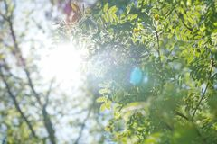 The sun shines through the young green foliage of a tree. acacia. Leaves blurred background Royalty Free Stock Photos