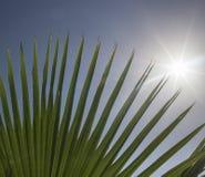 Sun shing a través de las frondas de la palma Imagenes de archivo