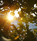 Sun shining through apple tree stock images