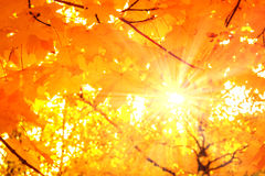 Sun shining through autumn leaves Stock Images