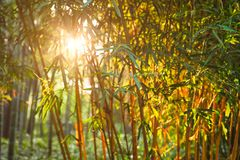 Sun shining through bamboo leaves stock images