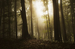 Sun shining in a beautiful forest with fog Stock Images
