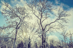 Sun Shining Behind Snow Covered Trees Royalty Free Stock Images