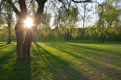 The sun is shining through big tree. In a park Stock Photo