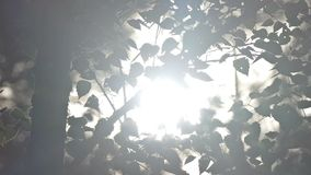 Sun shining through birch foliage slow motion video stock footage