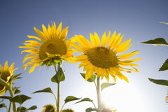 Sun shining in blue sky behind vibrant sunflowers Royalty Free Stock Images