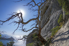 The sun shining through the branches of dried relic pine in the. Fisheye view of the sun shining through the bare branches of dried relic pine in the Crimean stock photography