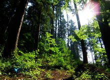 Morning sunshine in forest Royalty Free Stock Photo