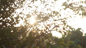 Sun shining brightly through leaves at  sunrise. Morning sun shining brightly through green tree leaves at the sunrise stock video