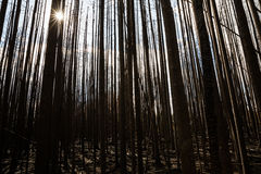 Sun shining through burnt trees of thick forest Royalty Free Stock Images