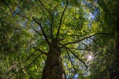 Sun shining through the canopy of tall tree Stock Photo