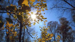Sun shining through colorful autumn leaves making. Them glow in a forest. HD. 1920x1080 stock footage