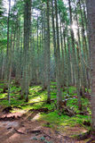 Sun shining through the conifer forest Royalty Free Stock Photography