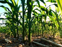 Sun shining on a corn field in the summertime, near Liverpool, Pennsylvania royalty free stock photo