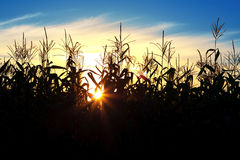 Sun shining through the corn Royalty Free Stock Images