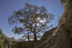 Sun shining through the crown of the relic Crimean pine. Royalty Free Stock Photos