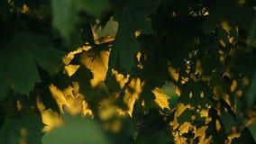 Sun Shining Through The Dark Green Maple Leaves stock footage