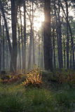 Sun shining through a dence forest giving golden glow to the forest floor. Morning sunrise in pine forest on an early morning walk stock photography
