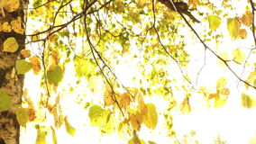 Sun shining through fall leaves stock footage