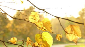 Sun shining through fall leaves stock video