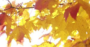 Sun shining through fall leaves blowing in breeze. maple stock video footage
