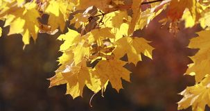 Sun shining through fall leaves blowing in breeze. maple stock video