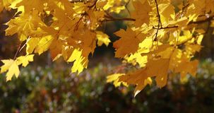 Sun shining through fall leaves blowing in breeze. maple stock footage