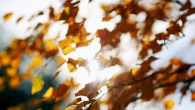 Sun shining through fall leaves blowing in breeze. Sun shining through yellow leaves. Golden autumn. Beautiful background. Sun shining through fall leaves stock footage