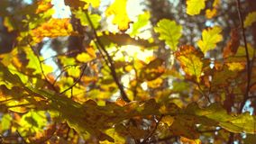 Sun shining through fall leaves, oak.