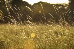 Sun Shining On A Field Of Long Grass Stock Image